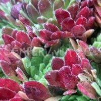 Sempervivum 'Terracotta Baby'