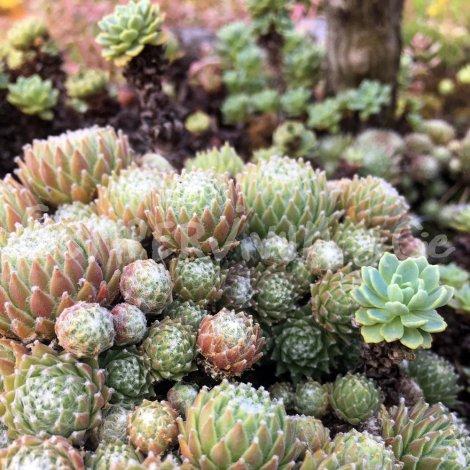 Sempervivum 'Kronenbourg Park'en compagnie de Rhodiola pachyclados en été (Juillet)