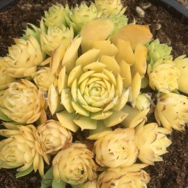 Sempervivum 'Gold Nugget®' Automne