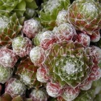 Sempervivum 'Minor'