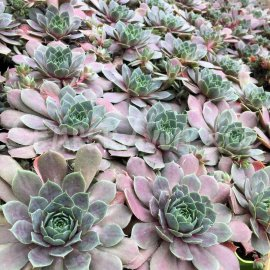 Sempervivum 'Plum Parfait®'