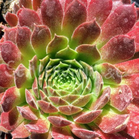 Sempervivum 'Pacific Red Tide' en été