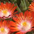 Delosperma 'Seigne orange' au printemps (mai)