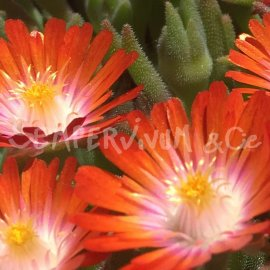 Delosperma 'Seigne orange' au printemps (mai)