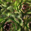 Sempervivum cantabricum