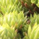 Jovibarba arenaria from Goldeck printemps (mai)