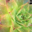 Sempervivum 'Birchmeier' printemps (mai)