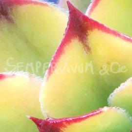 Sempervivum 'Birchmeier' fin hiver (février)