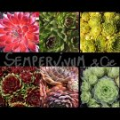 Sempervivum mix de 6
