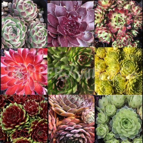 Sempervivum mix de 9