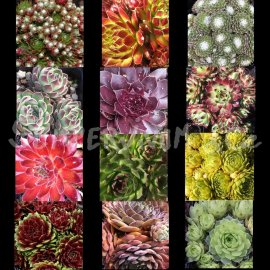Sempervivum mix de 12