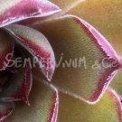 Sempervivum 'Alchimist' printemps (Avril)