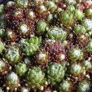 Sempervivum arachnoïdeum 'Rheinkiesel' avril