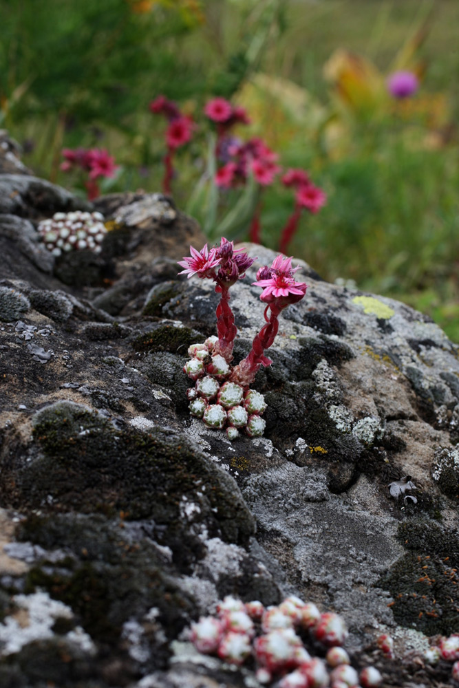 S arachnoideum nature Alpes été