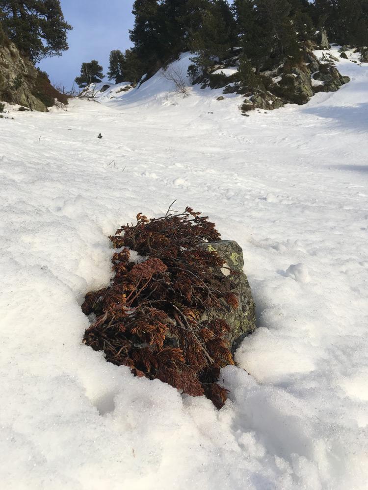 Sempervivum montanum dans la neige Alpes Hiver