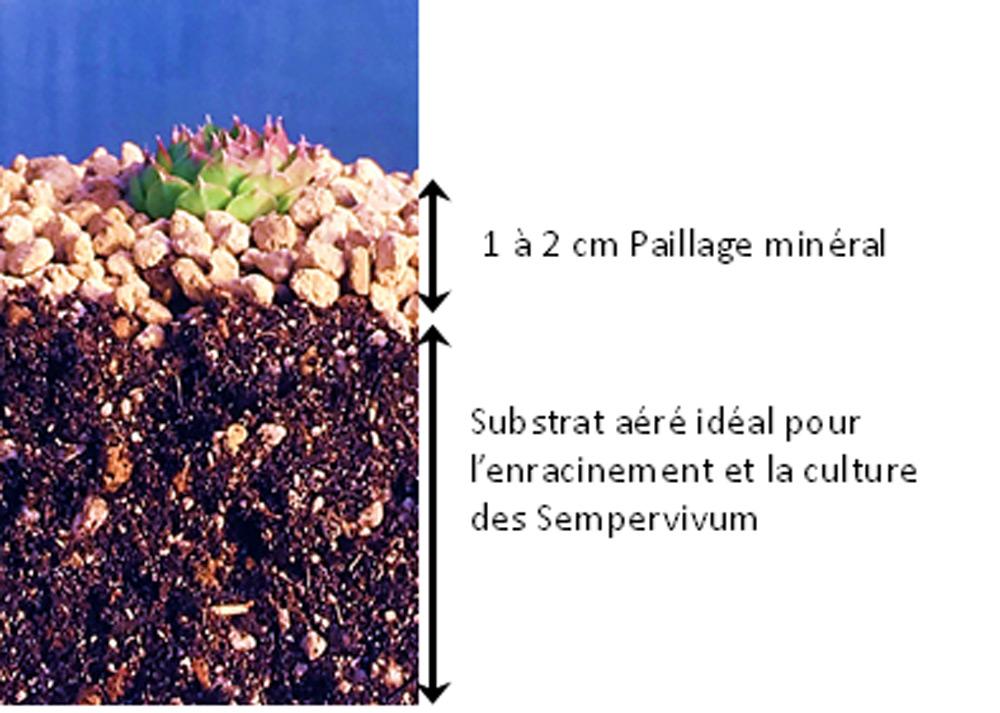 plantation de joubarbe paillage du sol