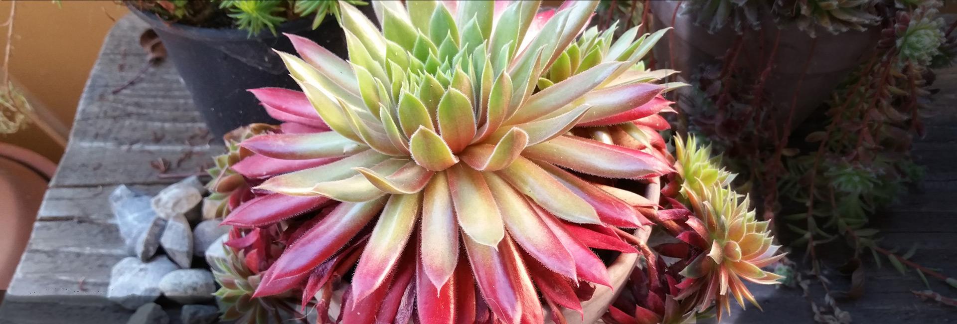 Boutique en ligne plantes succulentes sempervivum et cie for Plantes en ligne